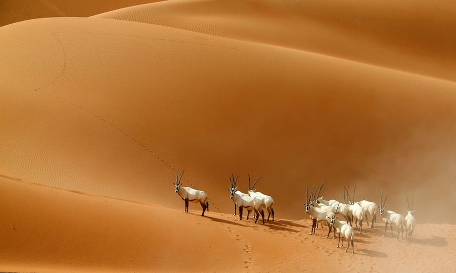 Arabian Oryx are at risk of extinction becuase of limited habitats and hunting. Evidence from past mass extinctions suggest many species and not just endangered ones are under threat. Photograph- Karim Sahib:AFP:Getty Images