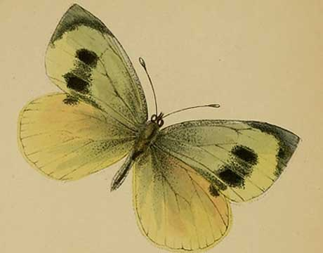 Madeiran large White Butterfly -extinct 2007