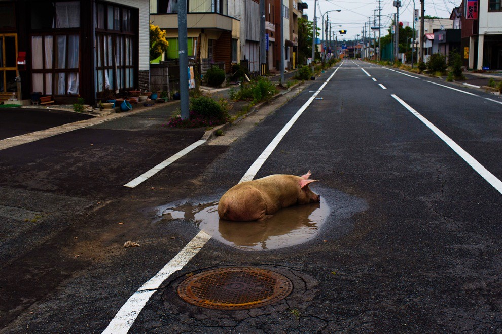 This little piggy went to Red Zone -matome.naver.jp